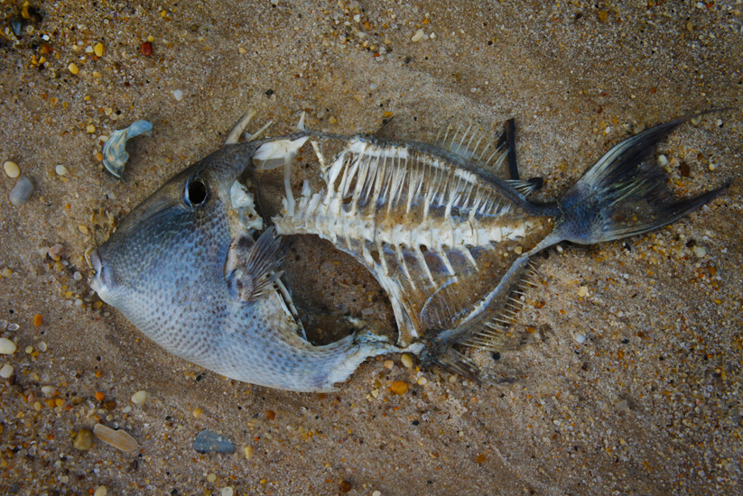 Dead Fish on the Beach : Hamptons NY : USA